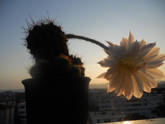 Berislavov kaktus u sumrak